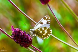 Butterfly Pontia Daplidice by VitoDesArts