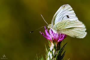 Butterfly Pieris Rapae by VitoDesArts