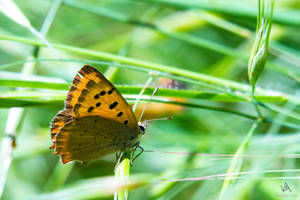 Butterfly Lycaena Phlaeas #2 by VitoDesArts