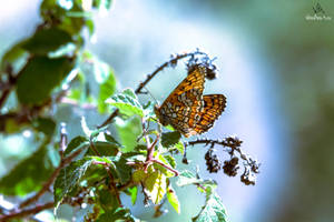 Butterfly Melitaea Phoebe #4 by VitoDesArts