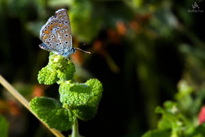 Butterfly Polyommatus Icarus #3 by VitoDesArts