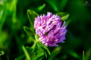 Pink Clover by VitoDesArts