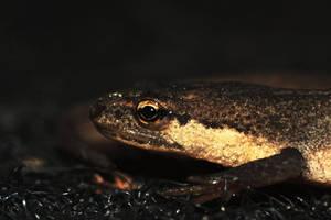 Smooth newt by mslijkhuis