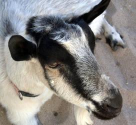Goat by EchoGrey