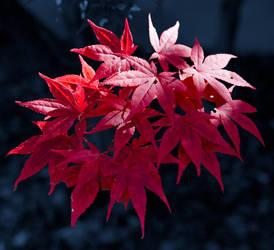 Scarlet starburst by tom30519
