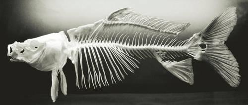 fish bones by Planet37