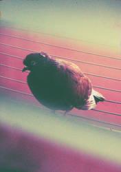 Brown Pigeon by Poof2507
