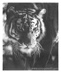 Tiger by chandito
