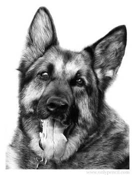 German Shepherd by chandito