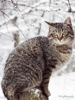 ... Siberian cat... by bogdanici