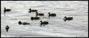Savannah River Ducks by TheJenjineer