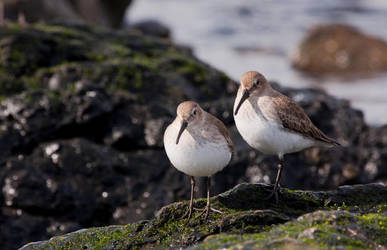 Sandpipers by Hellhuff