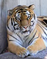 Amur Tiger by cindy1701d