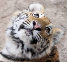 Amur Tiger Baby by cindy1701d