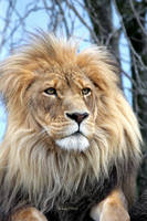 African Lion by cindy1701d