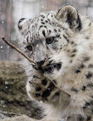 Baby Snow Leopard by cindy1701d
