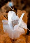 Tissue Paper Poppy by zdfalk