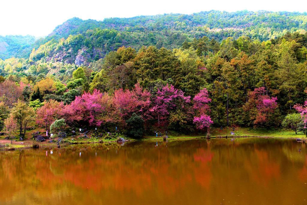 Cherry blossoms Sakura Thailand by icon0
