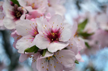 Almond tree blossom by AlvaroGJ