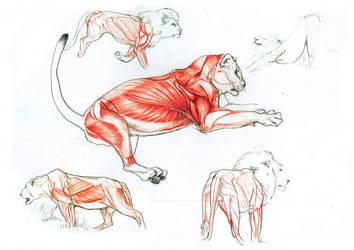 lion anatomy by Goldstress972