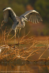 Grey Heron by javierherrera86