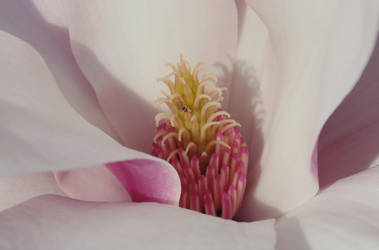 Magnolia Blossom by Schattey