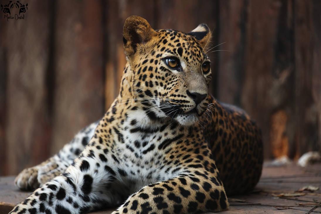Sri Lankan leopard / Panthera Pardus Kotiya by HunkUmbrella2