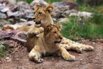 Lion / Panthera leo bleyenberghi by HunkUmbrella2
