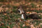 Red squirrel / Sciurus vulgaris by HunkUmbrella2