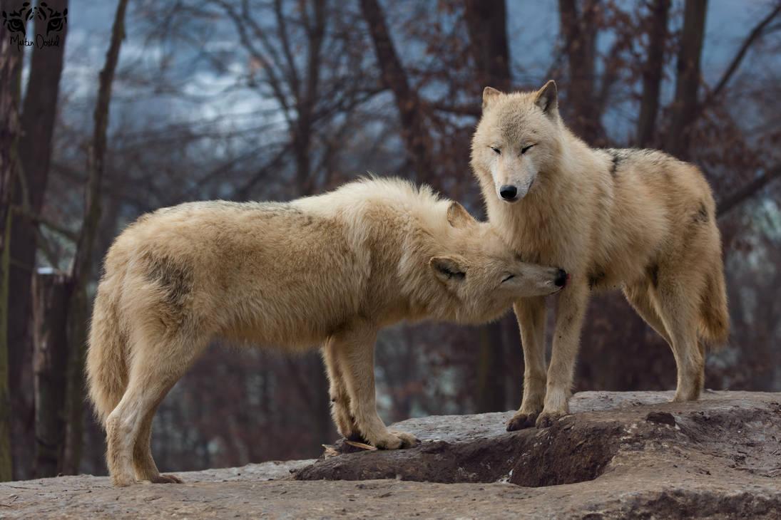 Arctic wolf / Canis lupus arctos by HunkUmbrella2