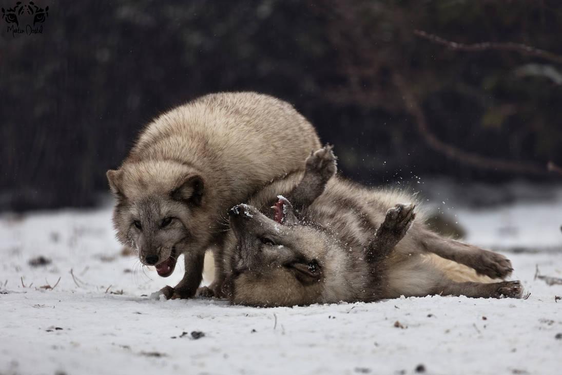 Arctic fox / Vulpes lagopus by HunkUmbrella2