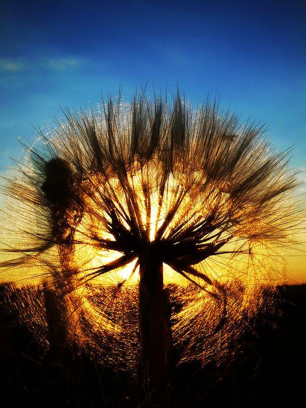A setting dandelion by DrakeDH