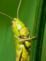 Grass hopper by DrakeDH