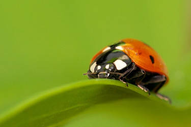 Ladybug by DrakeDH