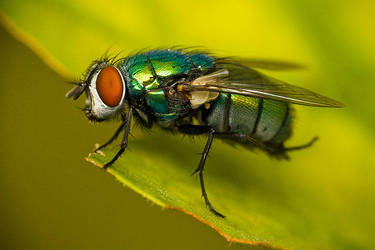 A green fly by DrakeDH