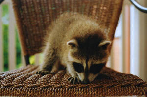 Baby Raccoon 2 by xstcy24