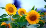 Sunflowers by Aprilyus
