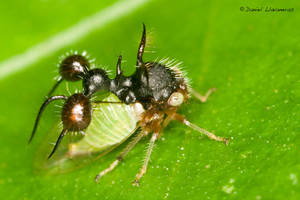 Spiny membracidae by dllavaneras