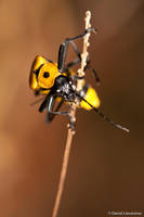 Soldier beetle by dllavaneras