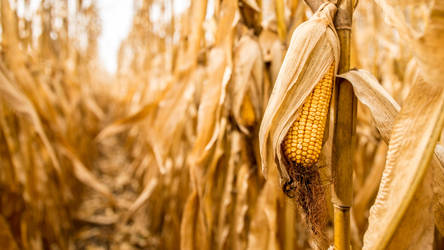 Corn by NJM1112