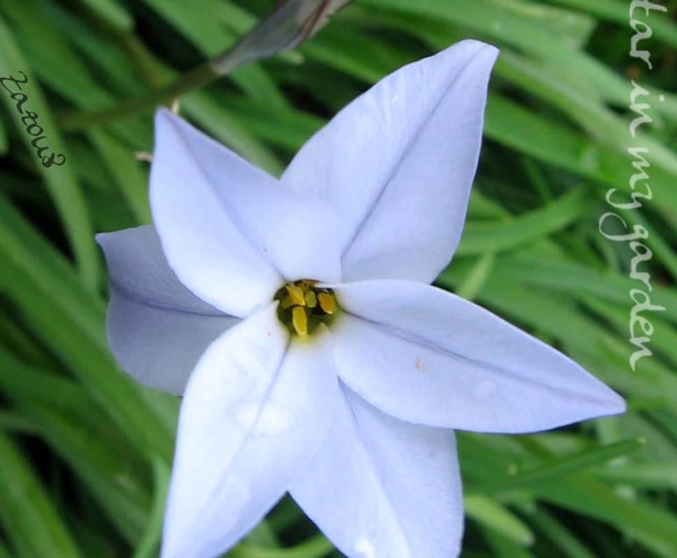 The star in my garden by Zazou8