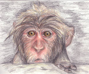 Japanese Macaque by gabi91