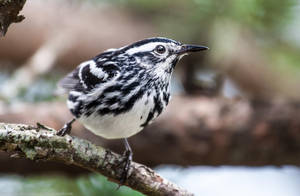 Black and White Warbler 3 by rctfan2