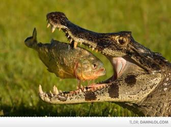 Piranha vs croc by burter1993