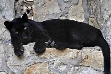 Black Leopard 0250 by robbobert