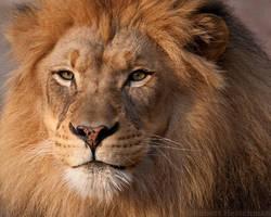 Lion Portrait by robbobert