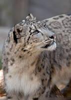 Snow Leopard Portrait by robbobert