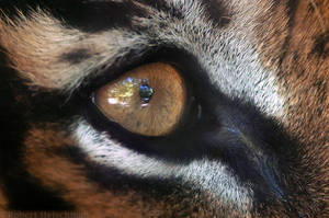 Eye of the Tiger by robbobert