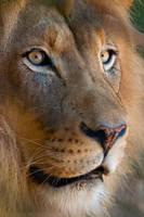Lion Portrait 1083 by robbobert