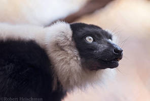 Black and White Ruffed Lemur 0528 by robbobert